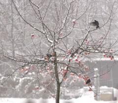 merles sur le pommier gelé.jpg